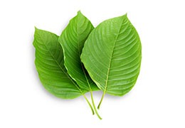 New extraction method for Mitragyna speciosa L.