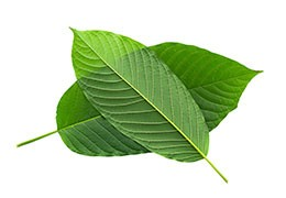 Antimicrobial and anti-inflammatory activity of Mitragyna speciosa L. extracts